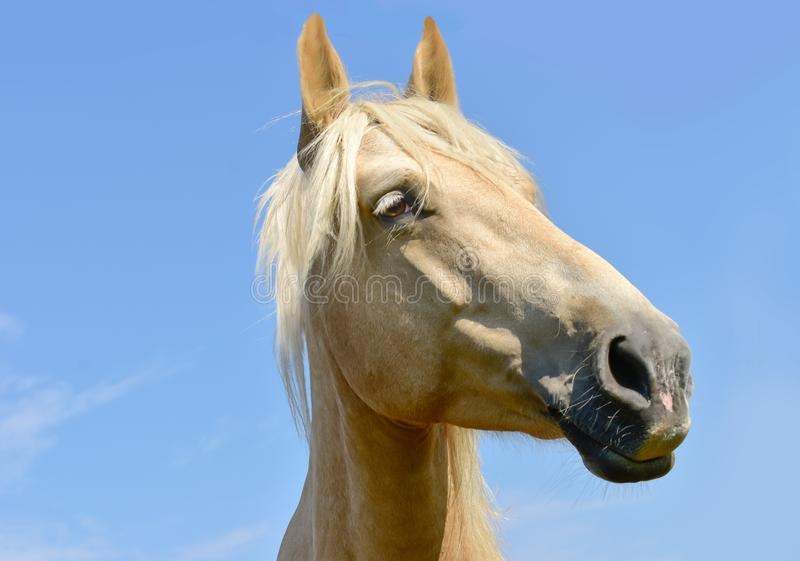 White horse head eyes. A closeup portrait of the face of a horse stock photo