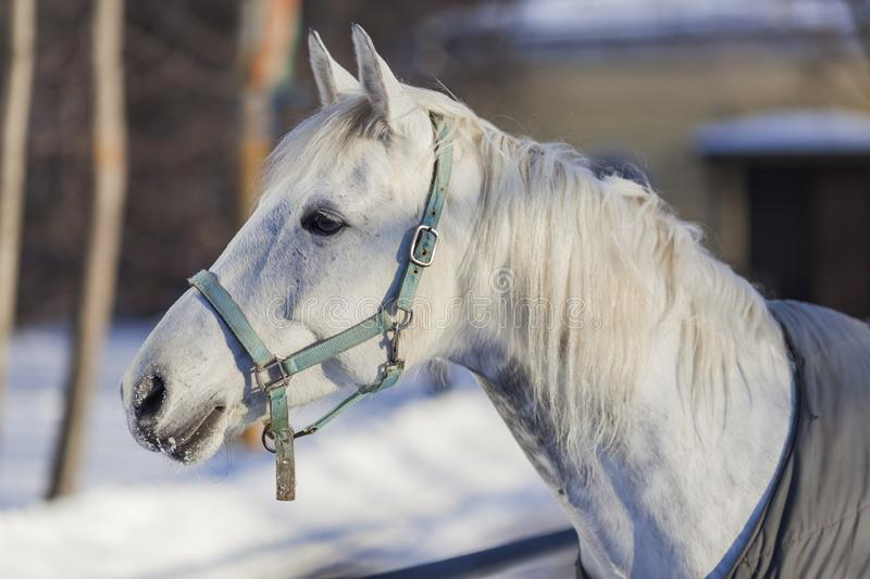 White horse head in winter stock photography