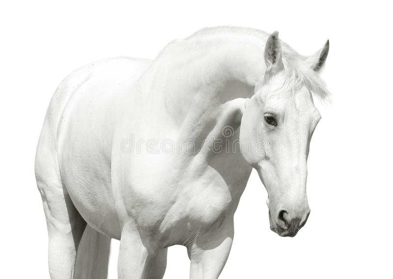 Download White horse high key stock photo. Image of isolation - 19511360