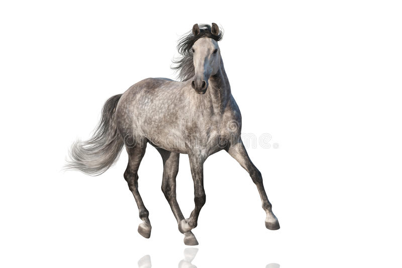 White horse isolated stock image