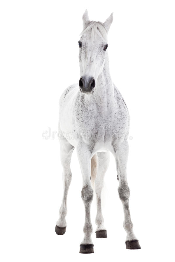 Download White Horse Isolated On White Stock Photo - Image: 39831422