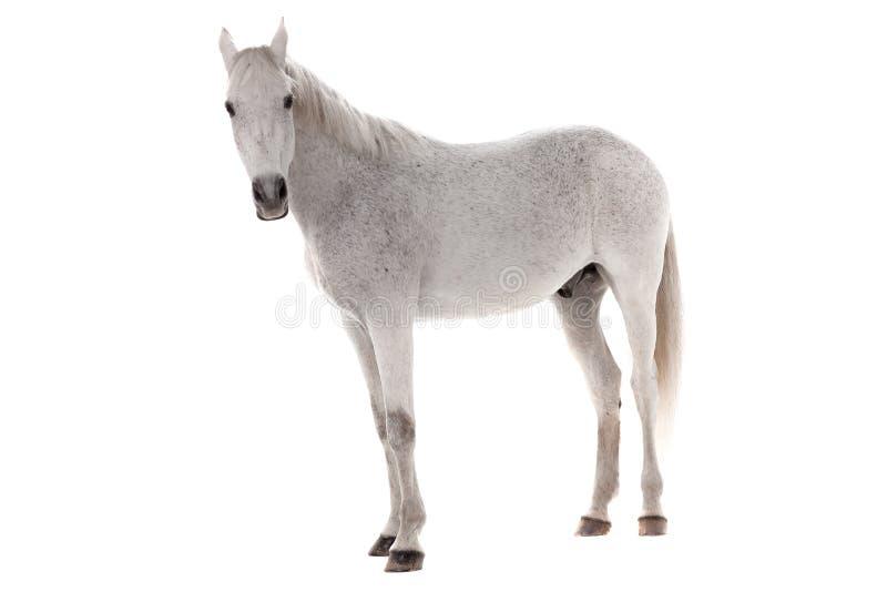 White Horse Isolated On White Stock Photo