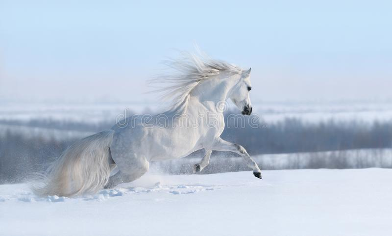White horse with long mane galloping across winter meadow royalty free stock photography