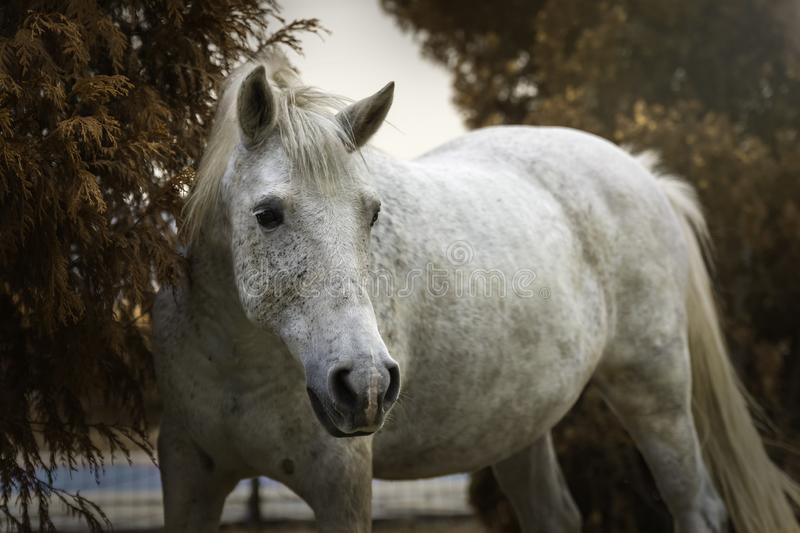 Portrait of a white horse in a garden in autumn stock photo