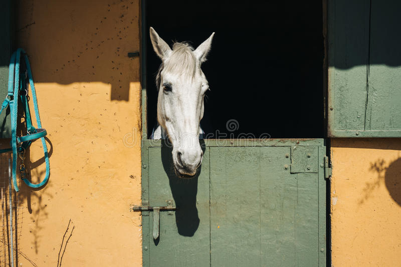 White horse looks royalty free stock images