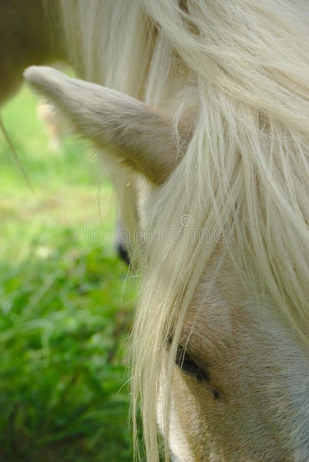 White horse mane and look. White horse mane look and mane close up royalty free stock images