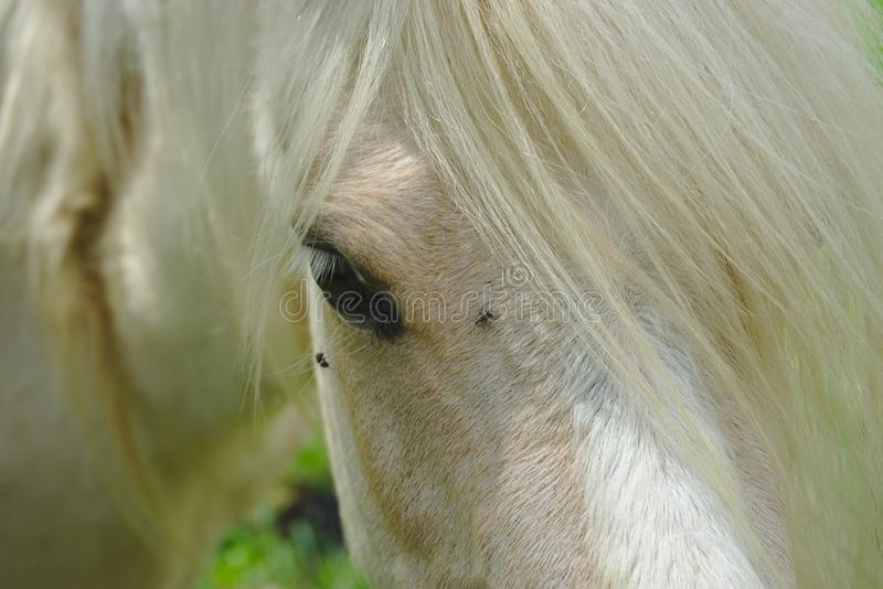 White horse mane and look. White horse mane look and mane close up stock image