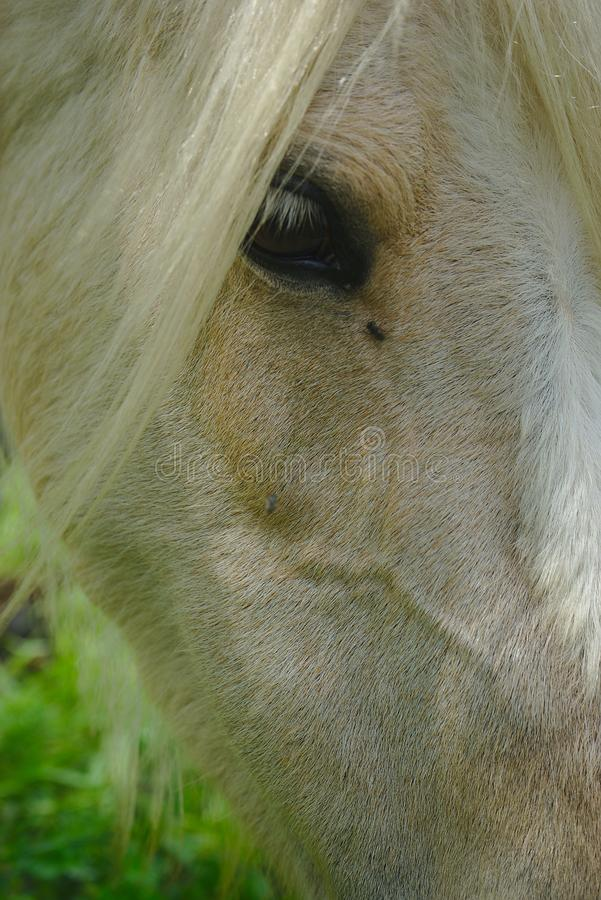White horse mane and look. White horse mane look and mane close up royalty free stock photos
