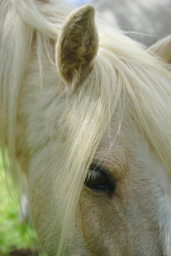 White horse mane and look. White horse mane look and mane close up stock images