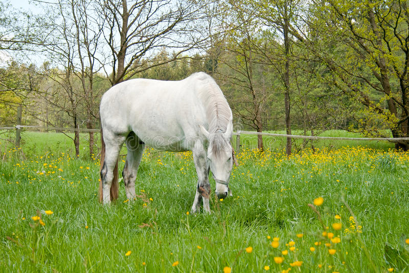 White horse in meadow with lots of flowers grazing.  stock images