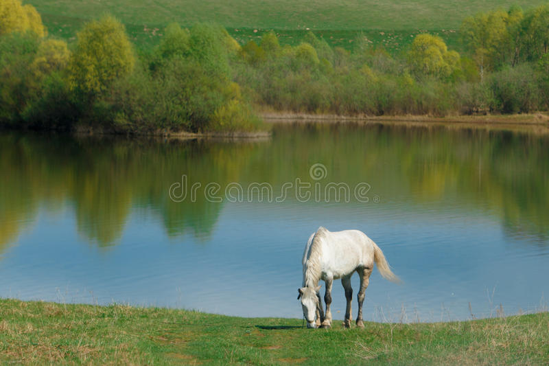 white horse in a meadow stock photography