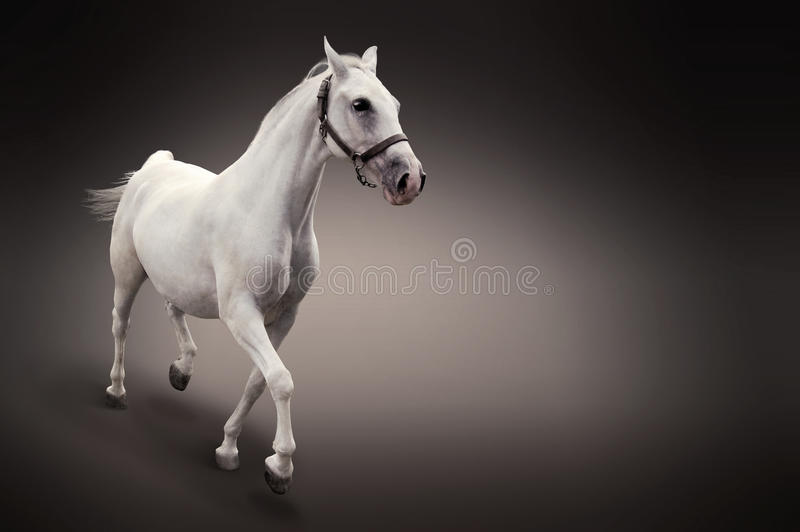Download White Horse In Motion Isolated On Black Stock Image - Image: 16246853