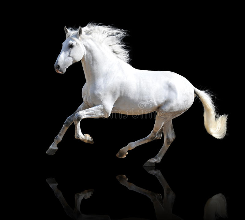 Free White Horse On The Black Stock Images - 27103304