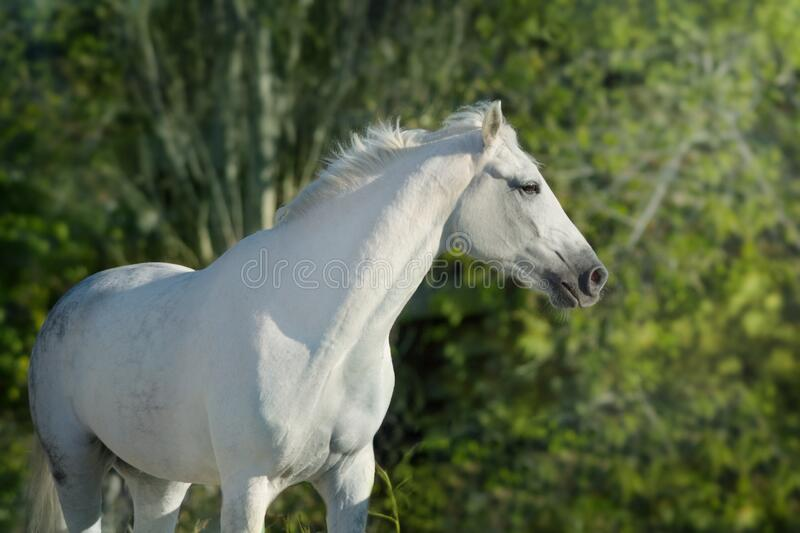 White horse outdoor. White horse portrait outdoor against green background royalty free stock images
