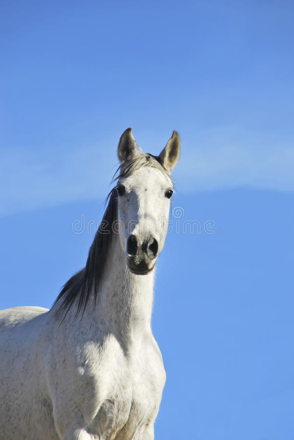 Download White horse over the sky stock photo. Image of horse - 22670556