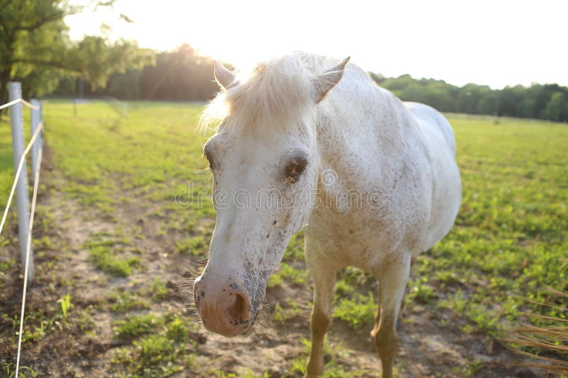 White horse in a pasture royalty free stock photography