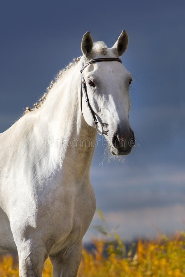 White horse portrait. Against dark blue sky royalty free stock photo