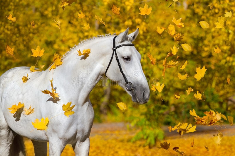 White horse portrait. In autumn yellow forest royalty free stock photos