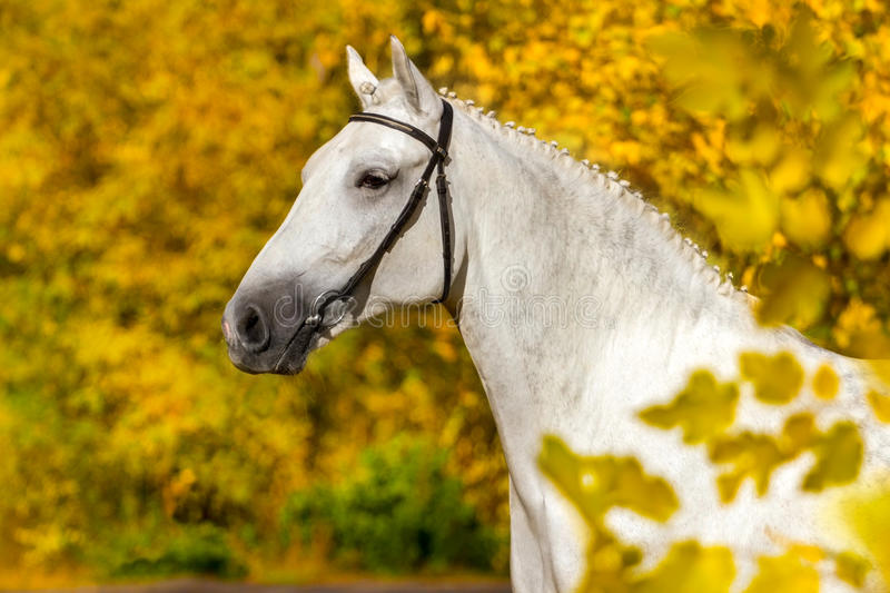 White horse portrait. In autumn yellow forest stock images