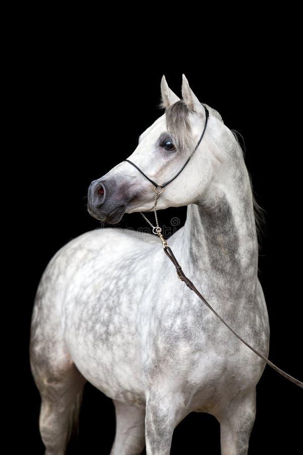 White horse portrait on black background royalty free stock photo