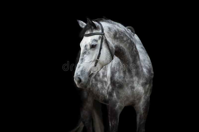Horse portrait on black stock image