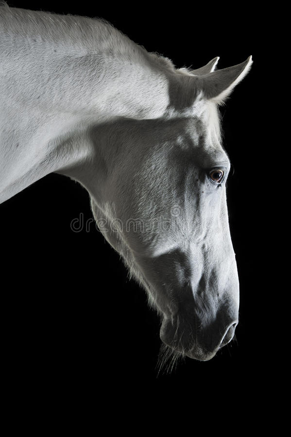 Download White Horse Portrait In The Darkness Stock Image - Image: 35378901