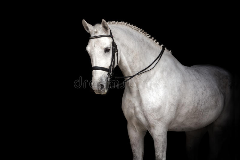 White horse portrait. In dressage bridle isolated on black background royalty free stock image