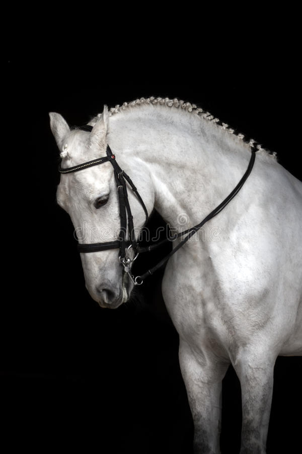 White horse portrait. In dressage bridle isolated on black background royalty free stock photos