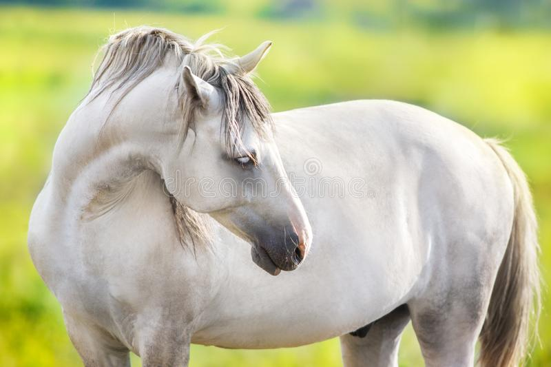 White horse in field stock image