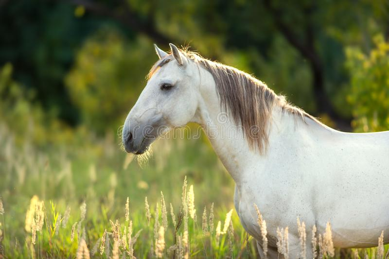 White lusitano horse portrait royalty free stock photos