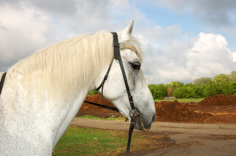 White horse portrait in a nature background stock image