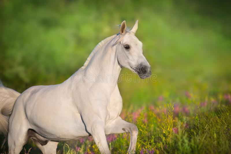 White horse portrait run. White horse portrait in violete flowers meadow in motion stock photo