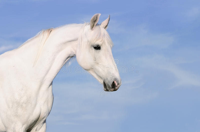 White horse portrait on the sky background. White Orlov trotter horse portrait on the sky background stock photography