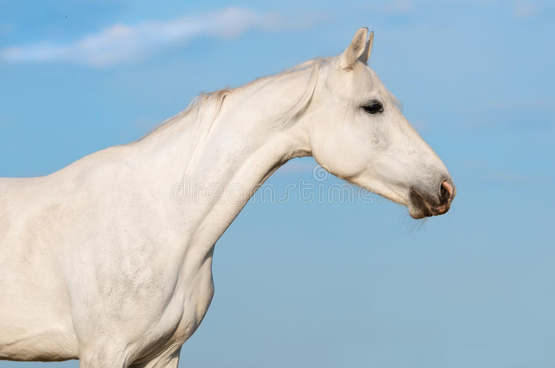 White horse portrait on the sky background. White Orlov trotter horse portrait on the sky background in summer stock images