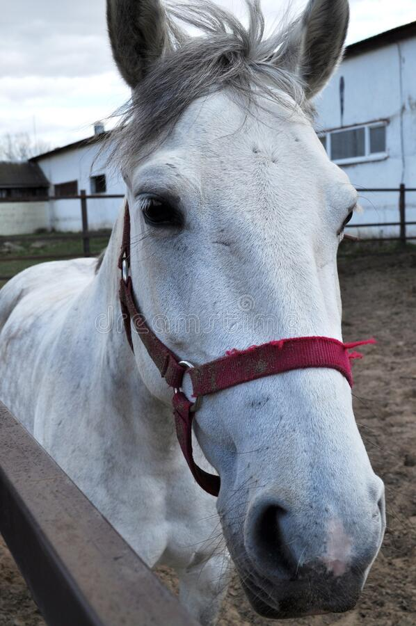 White horse portrait stock images