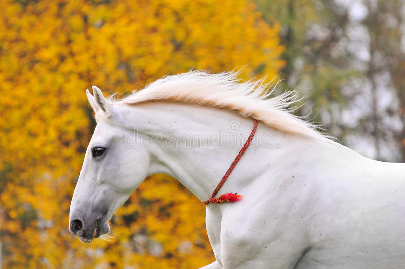 White horse portrait with yellow autumn background. Behind stock photos