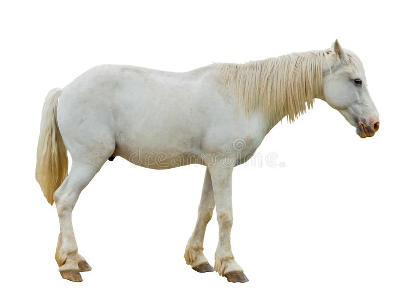 Beautiful white horse on a white background. stock photo