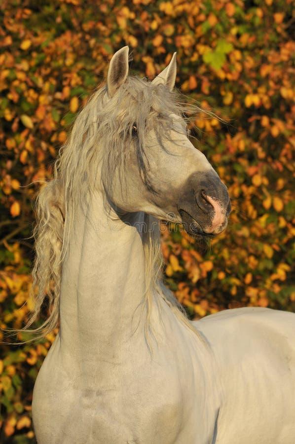 White horse pura raza espanola in autumn stock image