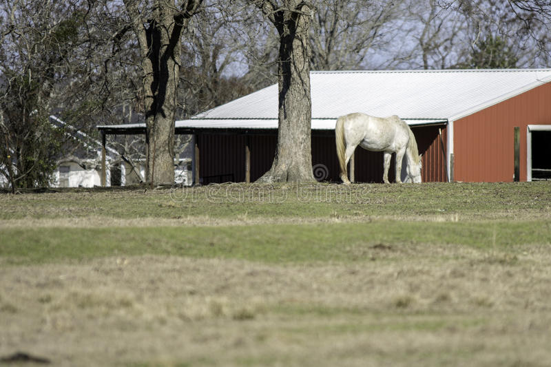 White horse and red barn in background royalty free stock photos