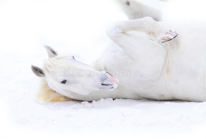 White Horse Rolling Royalty Free Stock Photos
