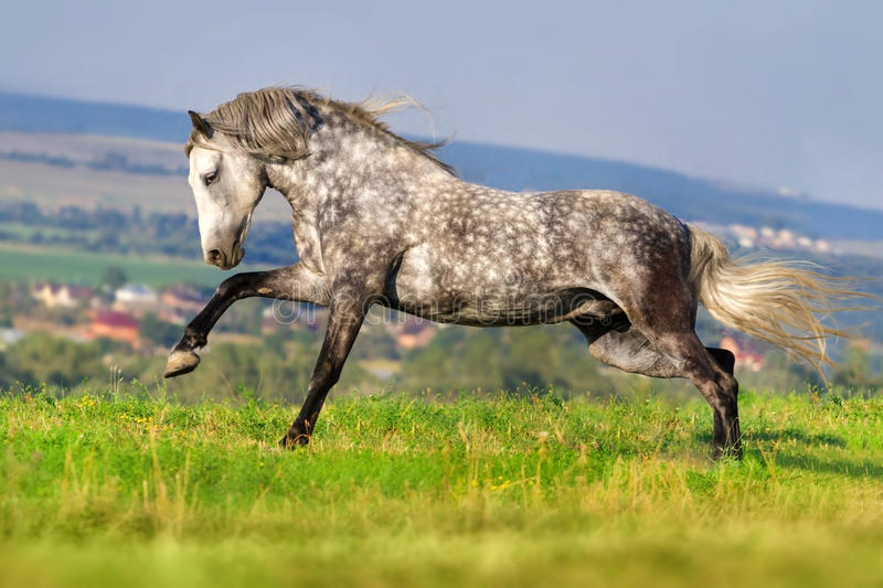 White horse run. White horse with long mane run royalty free stock photo