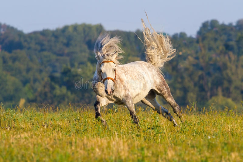 White horse run royalty free stock photography