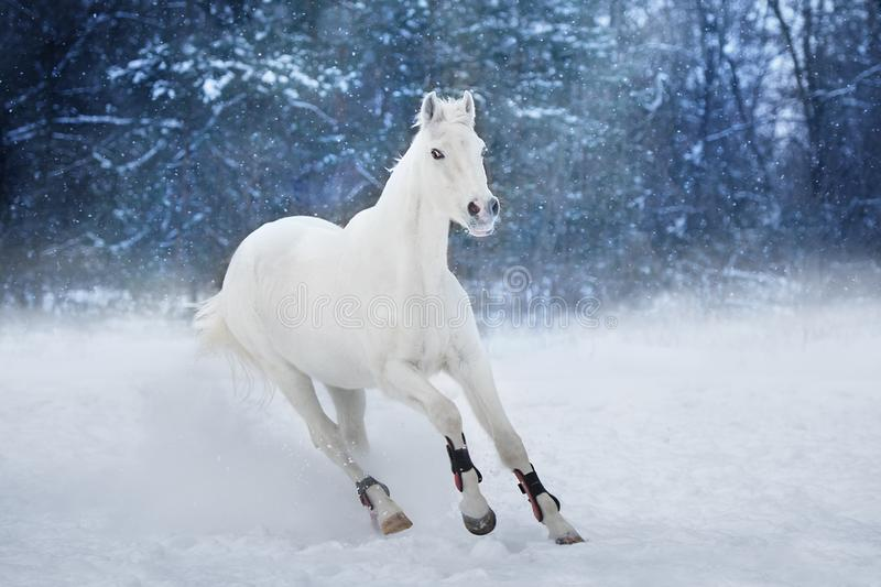 White horse run royalty free stock images