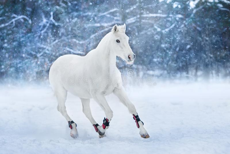 White horse run in snow. Landscape stock photo
