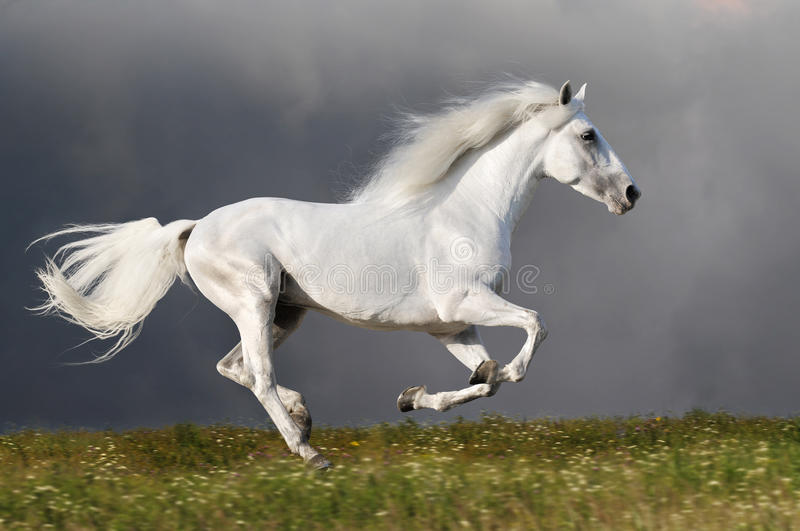 Download White Horse Runs On The Dark Sky Background Stock Photo - Image: 27741618