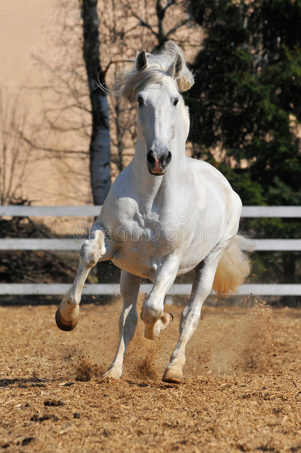 White horse runs gallop. Beauty white horse runs gallop stock images