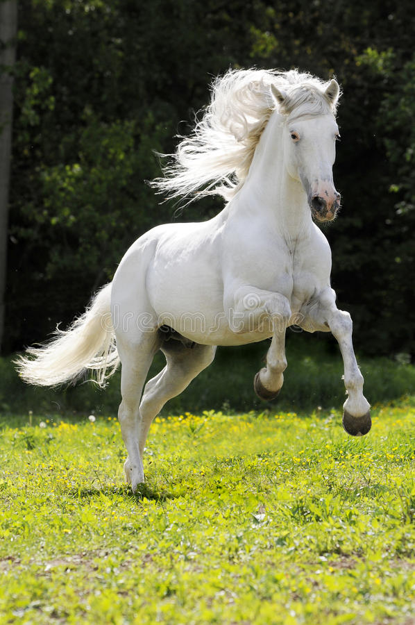 White horse runs gallop. The white horse gallops on a grass royalty free stock photos