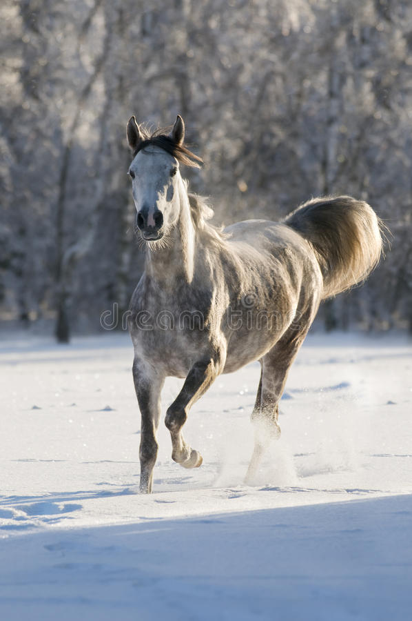 Download White horse runs trot stock photo. Image of outdoors - 17753118