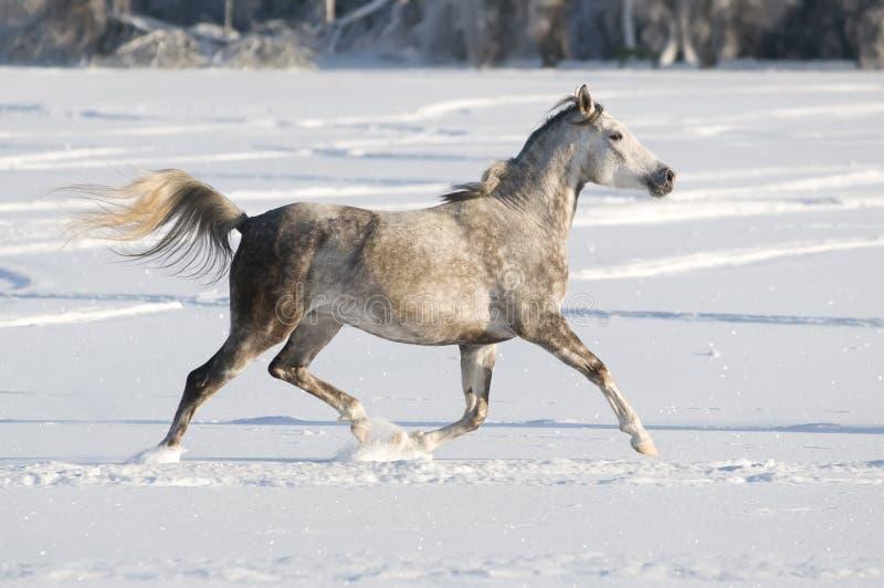 White horse runs trot