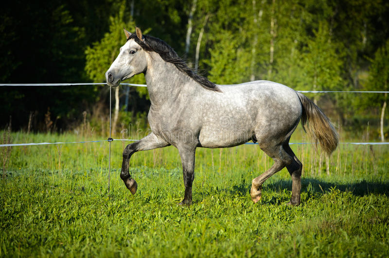 White horse runs trot on the meadow stock photos